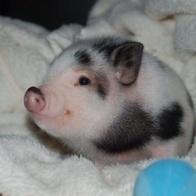 People say pigs are dirty, there the cutest things that I have ever seen in my whole life. I would trade anything for one! They are so amazing. I will always have a spot in my heart for miniture pigs! <3 ~Jodie