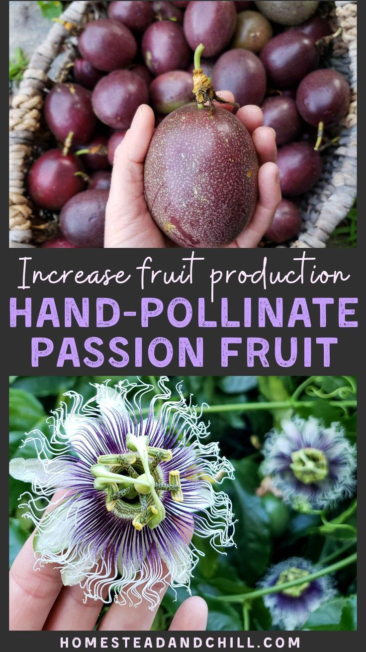 How To Hand Pollinate Passion Fruit Flowers Passion Fruit Plant Passion Flower Fruit Flowers