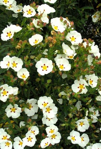 Cistus, rock rose. Good for slope. The flowers are a bright papery white.