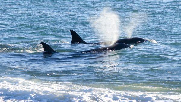 ¡Comenzó la temporada de #orcas en #PeninsulaValdes! Hasta fines de #abril se podrá realizar el #avistaje, uno de los más codiciados y difíciles. Desde Across Argentina podemos planear su #viaje a medida para que visite #PuertoMadryn. Consúltenos!