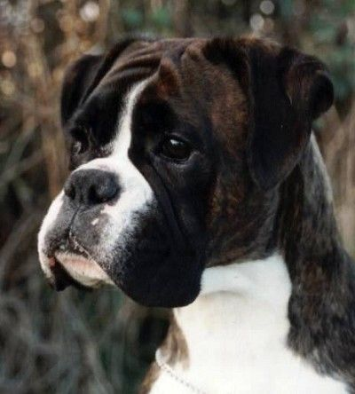 Dark Brindle boxer. Oh I just love that face!