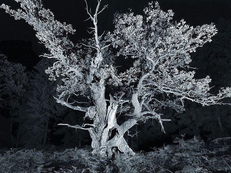 Gerichtseiche . Junkernkopf aus der Werkreihe ZEITFLÜSTERN – Die Gestalt und der Wuchs der alten Bäume, jede ihre eigene Geschichte erzählend, wird…