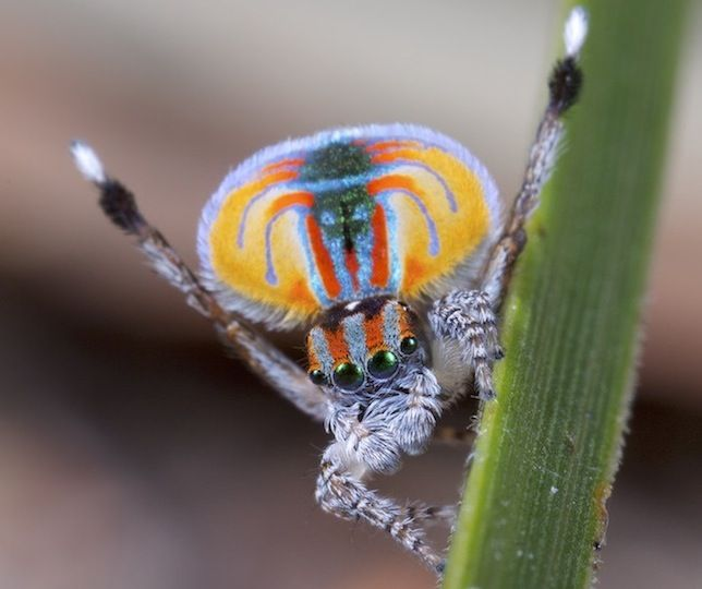 A male peacock spider (Maratus volans) raises his legs and abdominal flap during a courtship display.