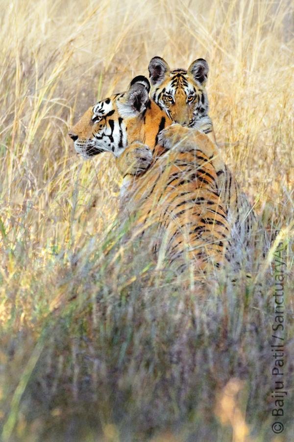 Tigress and her cub. Image: Baiju Patil/Sanctuary Asia 2009