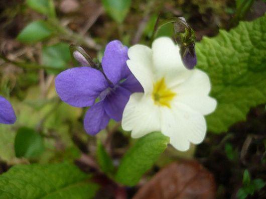 February's Birthflowers: The Vivacious Violet & The Pristine Primrose