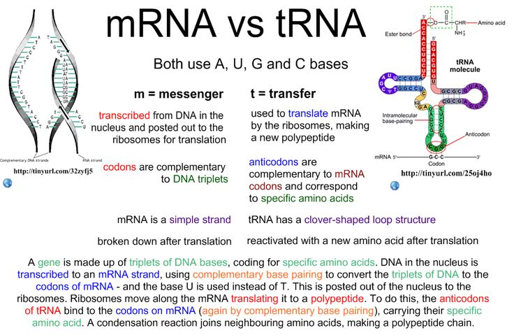 Reference: Transcription and Translation. Accessed April 13th 2013. http:/i.biology.net