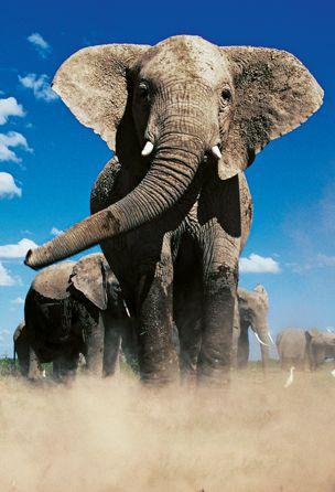Olifant in stofwolk. Het boek 'Olifant' is een indrukwekkend en ontroerend eerbetoon aan het grootste landzoogdier dat onze aarde rijk is. Het boek laat zien dat de olifant tot de verrassendste en intelligentste diersoorten op onze planeet behoren. U krijgt een intiem inkijkje in het leven van alledag van deze vriendelijke reus. Meer weten? Klik op de pin!