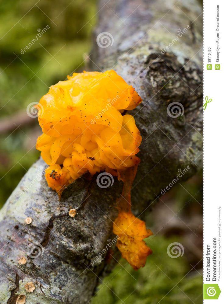 Gelber Pilz im Wald stockfoto. Bild von kiefern, sonnig - 39110460