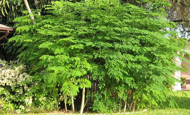 Find Moringa Oleifera Health Benefits And Side Effects Its Famous Name Is Drumstick Tree People Uses Moringa Plant Leav Moringa Moringa Tree Medicinal Plants