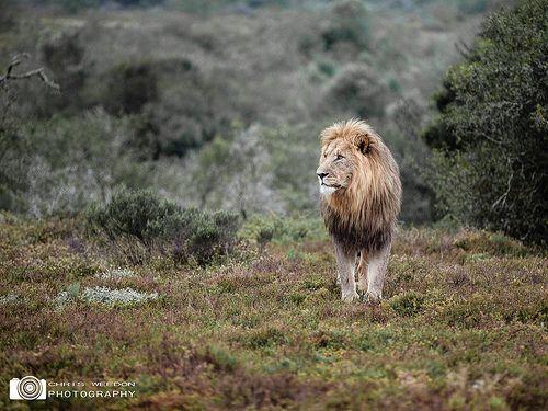 Evening Lion, Shamwari Game Reserve, South Africa