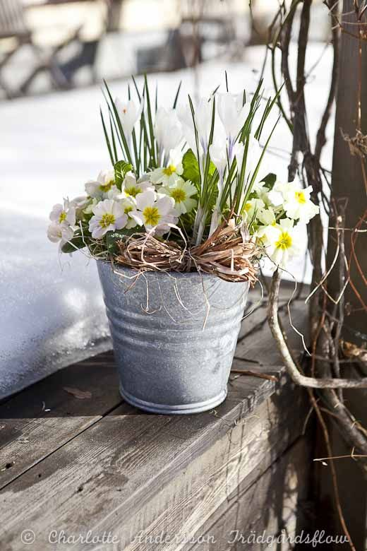 #Primrose #SpringFlowers Trädgårdsflow: Winter pulls away