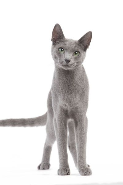 A curious Russian Blue #cat. Enter Royal Canin's cat Pinterest contest at http://on.fb.me/GBc597