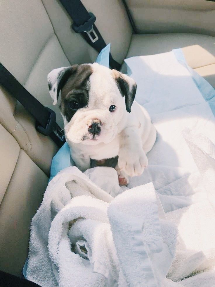 Pin By Emily Manning On Doggos Animals Puppies Boston Terrier