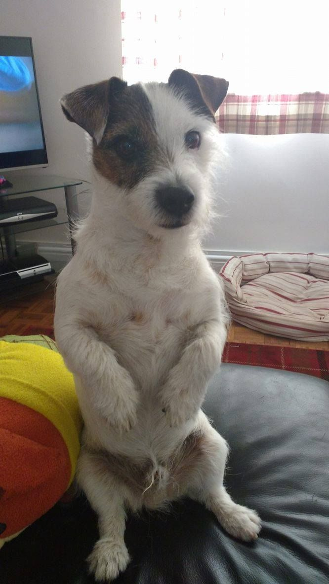Isn't he the cutest feller? We sure love Jack Russell Terriers