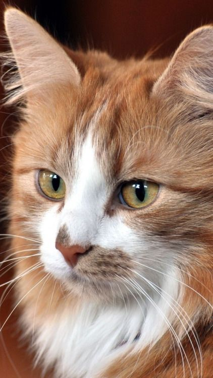 gorgeous ginger & white cat portrait
