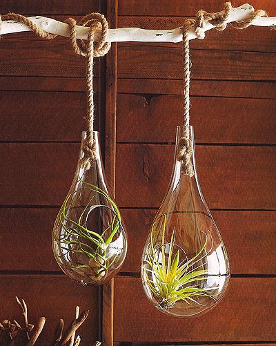 Hanging terrarium with air plants.  Beautiful.