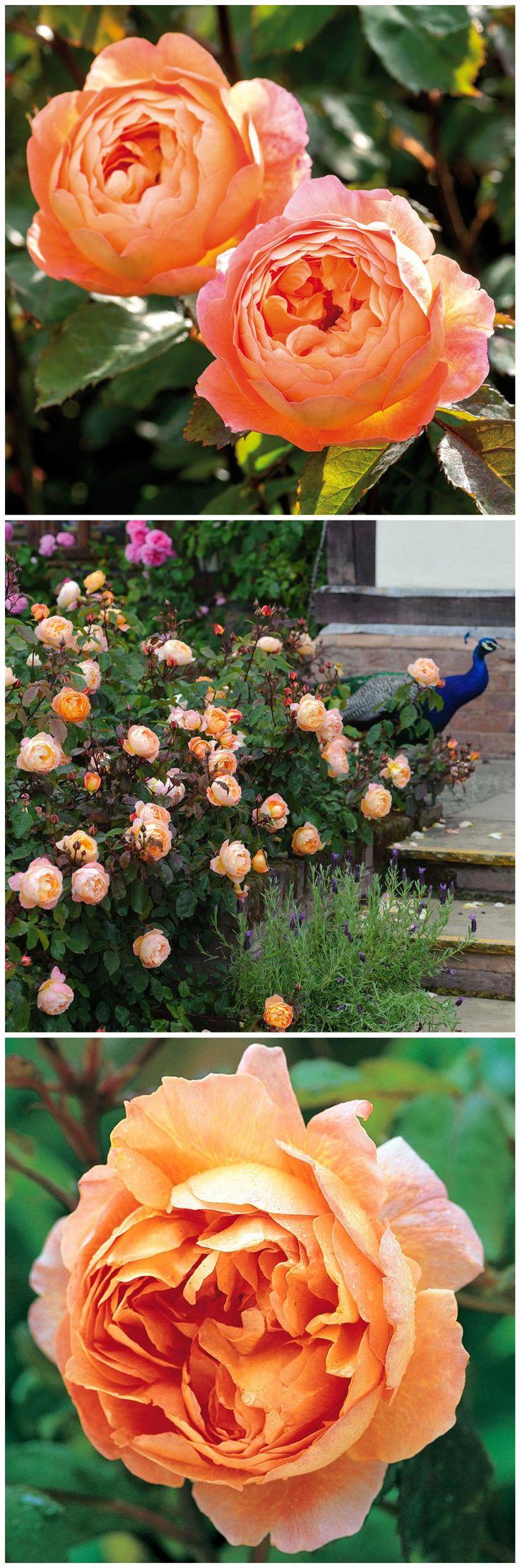 Simple Die Englische Rosen Lady Emma Hamilton Ausbrother gl nzt mit orangefarbenen Bl ten und einem