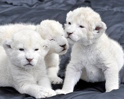3 baby white lions!                                                       …