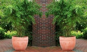 Groupon - Two or Three Fargesia Bamboo Plants from £29.99 With Free Delivery (Up to 65% Off). Groupon deal price: £29.99