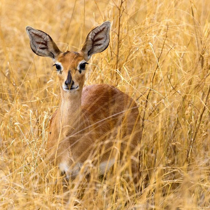 "natgeotravel: ""Photograph by @sarahpolger // The ears of this steenbok stood out even among the dense brush in the Mombo Concession Botswana. Mombo lies on the northern tip of Chiefs Island within the Moremi Game Reserve and holds some of the best wildlife viewing opportunities in Botswana. In less than two days I was lucky to see the Big 5 and even more in Mombo. Talented guides help explore the area and give visitors views and information theyll remember for years to come.  Keep following…"