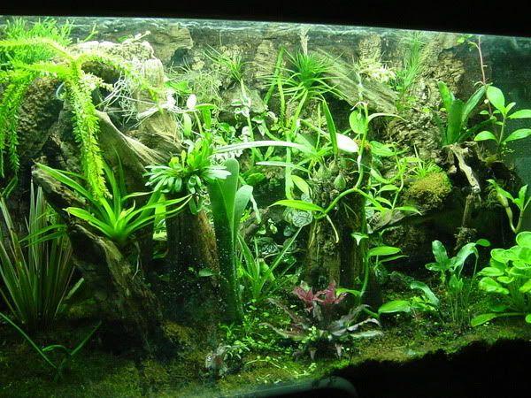 Tank shot 9 30 05 photo frog terrarium - Begonia argentata ...