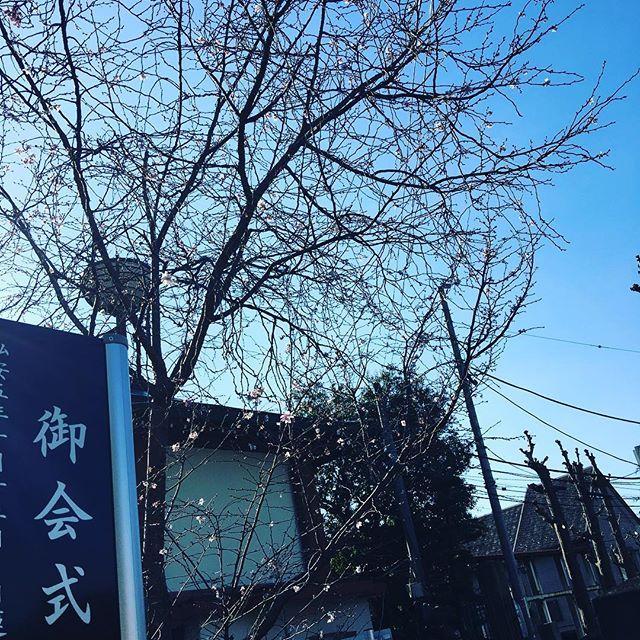 【mikatsukisaurus】さんのInstagramをピンしています。 《御墓参りへ。 御会式桜、今日も咲いています。 #日本 #japan #jpn #ig_japan #散歩 #お写んぽ #東京 #tokyo #池上 #桜 #そら #空 #イマソラ #sky #mysky #instasky #skystyles_gf #s_shot》