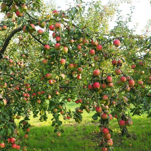 Choisir ses arbres fruitiers : formes et variétés