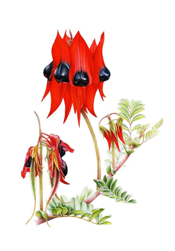Australian wildflowers - Sturt's desert pea