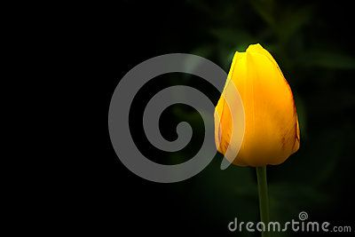 A beautiful yellow tulip on black background