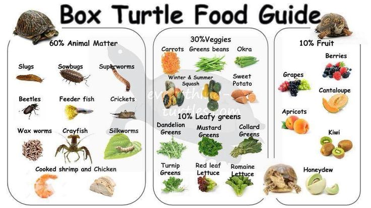 Box Turtle Diet