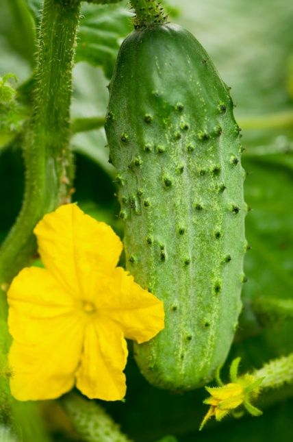 Cucumbers grown in the wrong conditions can become bitter or tasteless. Here is a simple tried and true tip for having the sweetest cucumbers in town . . .companion planting