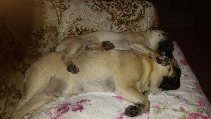 sleeping Pugs
