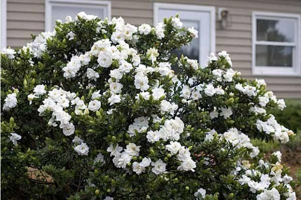 Le #Gardenia de #jardin est très résistant au gel (jusqu'à -18°c) ! Il est connu pour son parfum capiteux et peut atteindre jusqu'à 120cm de hauteur à l'âge adulte (en pleine terre) !