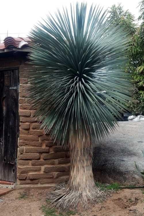 Yucca rostrata 'Blue Velvet'                                                                                                                                                                                 More