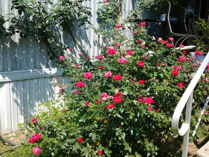 Roses In Garden: 167 Best Ideas About ♡MY HOME: TREES, BUSHES & SPECIAL