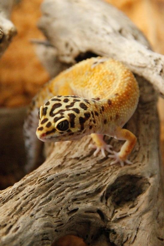 25 Best Ideas About Gecko Terrarium On Pinterest Snake