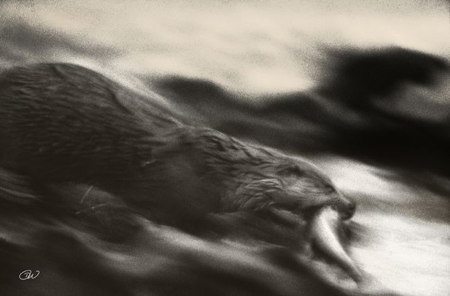 Otter (Lutra lutra) fleeing with fish. Lunnavoe, Mainland, Shetland (copyright Dennis Wansink).