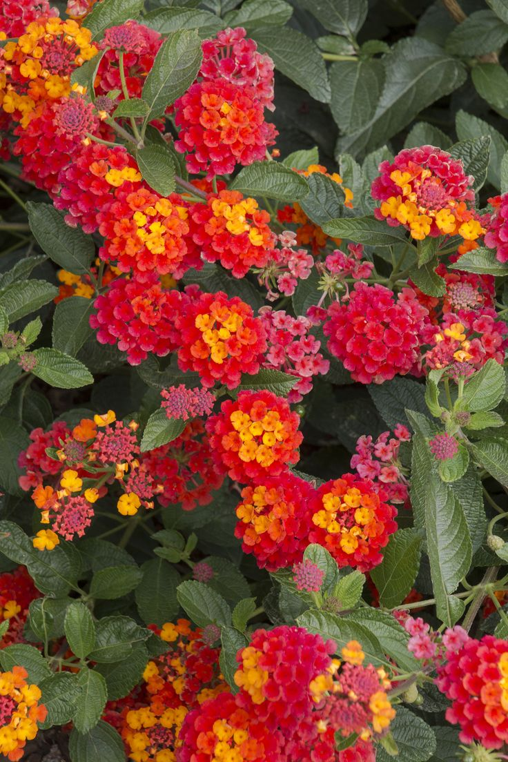 Radiation Bush Lantana - (all year long blooms)