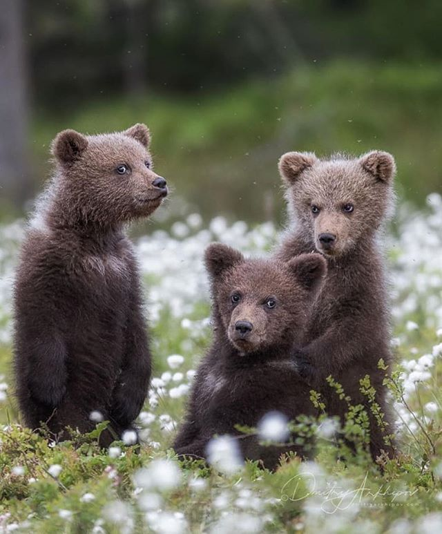 Three Brothers The Brown Bear Cubs In The Forest Of Karelia