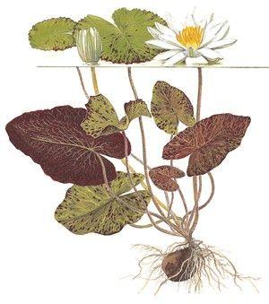 Nymphaea lotus - Tropica Aquarium Plants