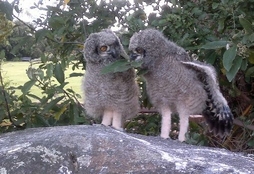 The spotted eagle owlets in Kirstenbosch national Botanical gardens, by Exclusive Getaways. See more http://exclusivegetaways.co.za/2014/11/18/the-spotted-eagle-owls-at-kirstenbosch-a-few-weeks-in-the-life-of/