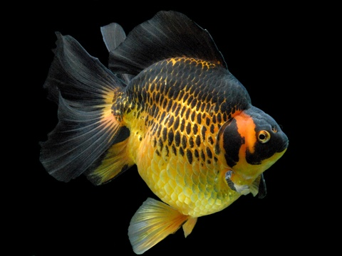 Goldfish can be trained to do various things.
