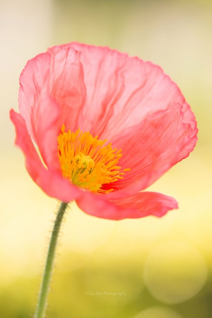 Papaver nudicaule by  Mika