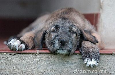 Irish Wolfhound puppy <3