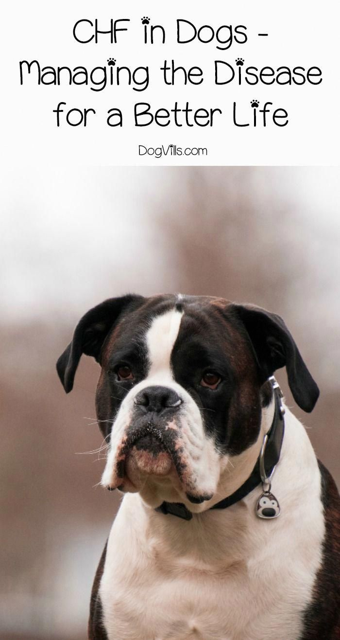 Chf in dogs might be a scary sounding diagnosis but itus not a