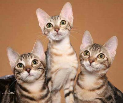 Sokoke: Pete The Cat, Kitty Cat, Animal Pictures, Sokok Kittens, Cat Boards, Animal Favorite, Cat Breeds, Animal Pinterest, Sokok Cat