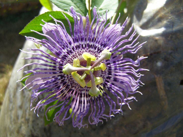 Passiflora Fata Confetto  I planted this one last year and I hope it made it through the winter. Loves lots of sun