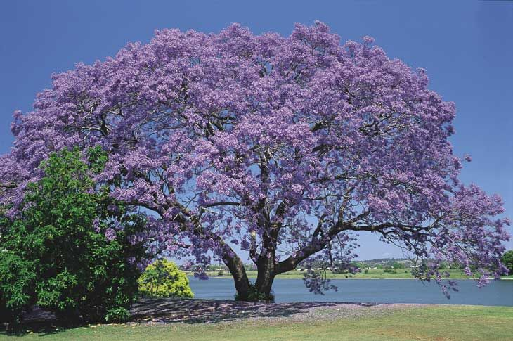 Jacaranda - the Jacarandas were in bloom when I first arrived in Australia, and my first impression of Brisbane was of smudges of mauve everywhere.