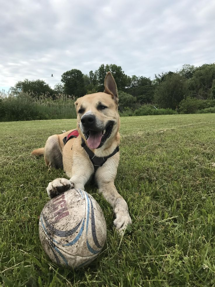Thor my 2 year old husky/ Rhodesian Ridgeback discovered rugby today! He's a good boy! http://ift.tt/2s13W7k