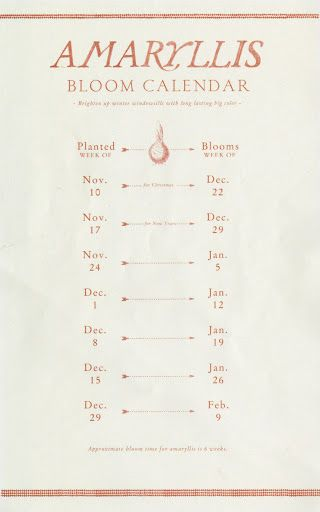 This is a very handy bloom calendar for amaryllis.  I think we'll have flowers for Christmas!